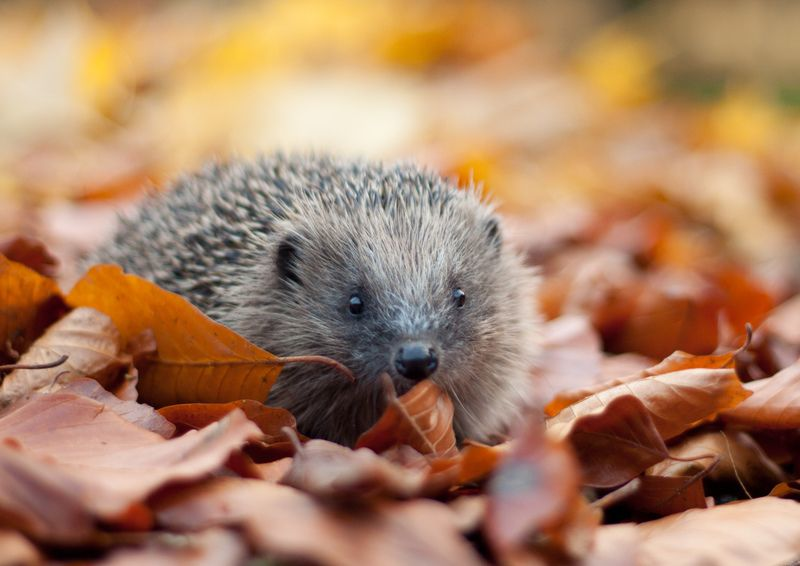 The Dangers of Guy Fawkes Night to Hedgehogs