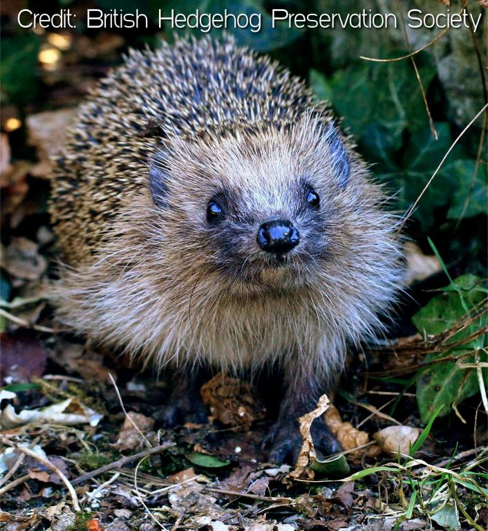 How you can be a hedgehog hero on Bonfire Night