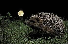 Hedgehogs Night Walk